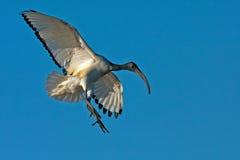 African Sacred Ibis Landing Royalty Free Stock Images