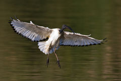African Sacred Ibis landing. With outstretched wings in water Stock Photos