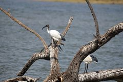 African sacred ibis on a log stock image
