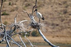 African sacred ibis on a log stock photo