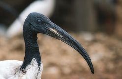 African sacred ibis long billed bird royalty free stock images