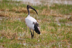 African sacred ibis. Stock Images