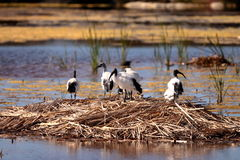 African Sacred Ibis on nest Stock Photos
