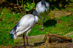 African Sacred Ibis Stock Images