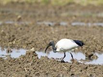 African sacred ibis Stock Photos