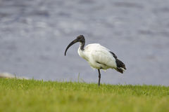African Sacred Ibis stood on one leg. African Sacred Ibis (Threskiornis aethiopicus) stood on one leg on grass against a blurred watery background, Cape Town Stock Photography