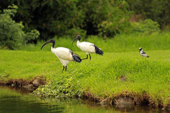 African sacred ibis. Sun City area, South Africa stock photo