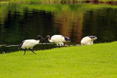 African sacred ibis. Sun City area, South Africa royalty free stock image