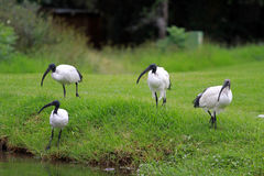 African sacred ibis. Sun City area, South Africa royalty free stock photography