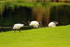 African sacred ibis. Sun City area, South Africa stock photos