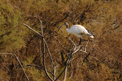 African Sacred Ibis on a tamarisk branch Royalty Free Stock Photo