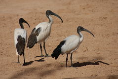 African Sacred Ibis - Threksiornis aethiopicus Royalty Free Stock Photo