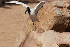 African Sacred Ibis - Threksiornis aethiopicus Stock Images