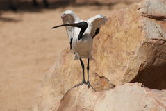 African Sacred Ibis - Threksiornis aethiopicus Royalty Free Stock Photos