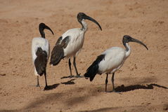 African Sacred Ibis - Threksiornis aethiopicus Royalty Free Stock Images