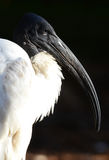 African Sacred Ibis (Threskiomis aethiopicus) Stock Photography