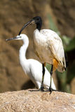 African sacred ibis. Stock Image
