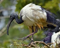 African sacred ibis Royalty Free Stock Photo