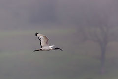 African sacred ibis (Threskiornis aethiopicus) Royalty Free Stock Image