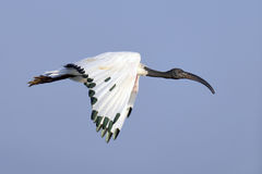 African Sacred Ibis (Threskiornis aethiopicus) in Flight Stock Image