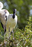 African sacred ibis, Threskiornis aethiopicus, nests in colonies Royalty Free Stock Photography