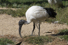 African sacred ibis, Threskiornis aethiopicus is nicely colored Stock Image