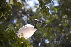 African sacred ibis (Threskiornis aethiopicus) Stock Images