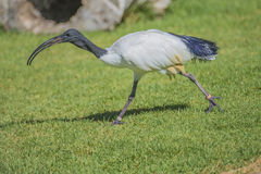 African sacred ibis, threskiornis aethiopicus Royalty Free Stock Photos