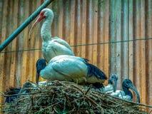 Sacred Ibis royalty free stock photography