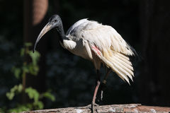 African sacred ibis (Threskiornis aethiopicus). Stock Photography