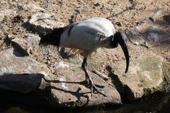 African sacred ibis (Threskiornis aethiopicus). Stock Photos