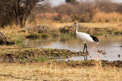 African Sacred Ibis - Threskiornis aethiopicus Stock Photography