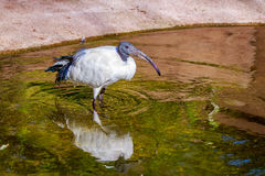African Sacred Ibis Royalty Free Stock Image