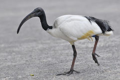 African sacred ibis walking Stock Image