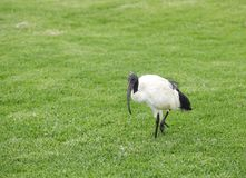 An African Sacred Ibis walking on green lawn Royalty Free Stock Photos
