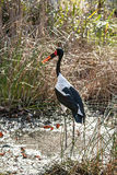 African Saddle-billed Stork in a marsh Royalty Free Stock Photography