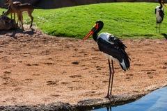 African Saddle-billed Stork Royalty Free Stock Images