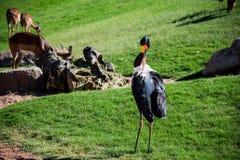 African Saddle-billed Stork Stock Photo
