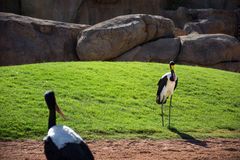 African Saddle-billed Storks Royalty Free Stock Photos