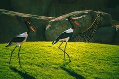 African Saddle-billed Storks royalty free stock images
