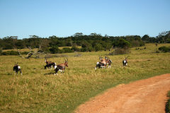 African safari. A herd of buck on a safari camp in Africa Royalty Free Stock Image