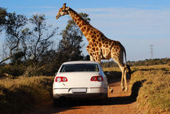 African safari. A typical African scene: white car driving on a gravel road and big giraffe crossing Royalty Free Stock Photo