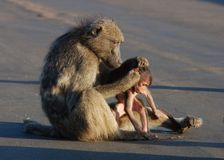 African Safari: Baboon. A wild chacma baboon (Papio ursinus) with her infant son in the road in South Africa Royalty Free Stock Photo