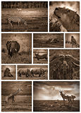 African safari black and white Royalty Free Stock Photography