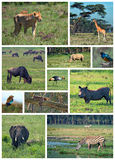 African Safari Royalty Free Stock Images