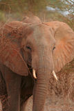African safari- elephant. African safari- close up of elephant Stock Photography