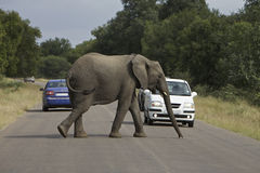 African Safari Elephant, cross the road. African Safari Elephant cross a road with cars very close, Kruger National Park stock photo
