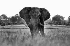 African safari. Elephant in the grass. Wildlife scene from nature, elephant in the habitat, Moremi, Okavango delta, Botswana, Afri. Ca. Black and white art photo stock photo