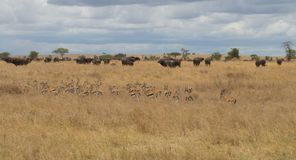 African Safari Stock Images