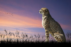 African safari image of cheetah on savannah Stock Photos